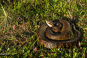 Cottonmouth (Agkistrodon piscivorus) or Water moccasin<br /> Little St Simon's Island, Barrier Islands, Georgia<br /> USA<br /> HABITAT & RANGE: