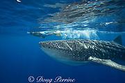 photographer James D. Watt and whale shark ( Rhincodon typus ), Kona Coast of Hawaii Island ( the Big Island ) Hawaiian Islands, USA ( Central Pacific Ocean ) MR 357