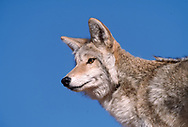 Coyote portrait, low angle, blue sky background, [captive, controlled conditions] © David A. Ponton