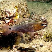 Silverlined Cardinalfish inhabit coastal reefs. Picture taken Ambon, Indonesia.