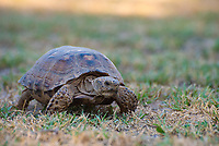 A very active Texas tortoise mows through the vegetation on a hot late-summer afternoon near the Rio Grande in Mission, Texas. These close relatives to the Florida gopher tortoise are found across South Texas and eastern Coahuila, Nuevo Leon, Tamaulipas, and northeastern San Luis Potosi in Mexico.