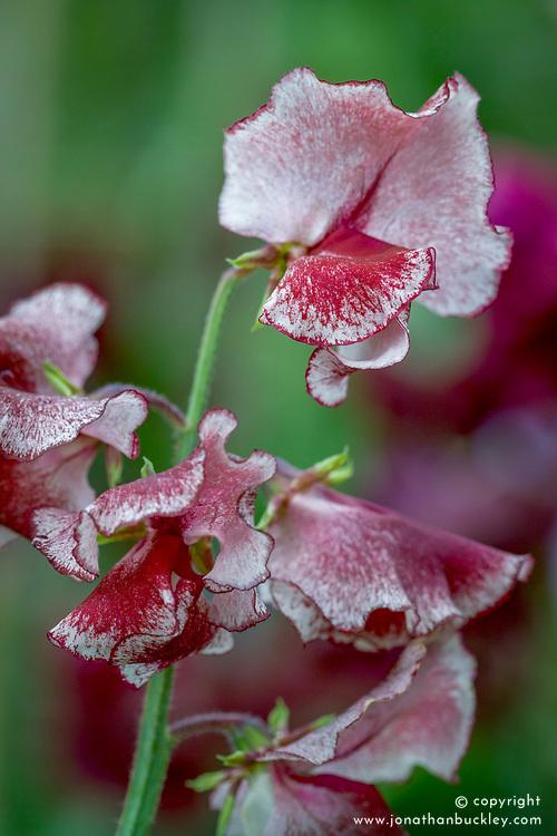 Lathyrus odoratus 'Wiltshire Ripple' - sweet pea