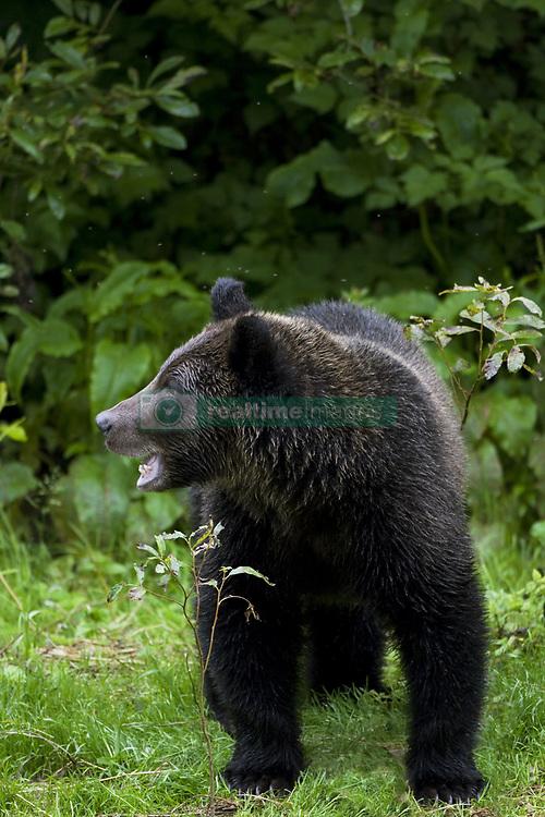 July 21, 2019 - Grizzly Bear Cub (Credit Image: © Richard Wear/Design Pics via ZUMA Wire)
