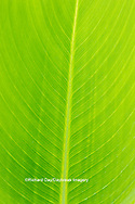 63899-05511 Canna leaf Marion Co. IL