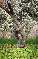 Epimedium pinnatum colchicum growing beneath Malus floribunda