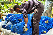 Israel, Jordan Valley, Kibbutz Ashdot Yaacov picking bananas in the banana plantation. The banana clusters are wrapped in blue plastic bags to protect the fruit from frost and birds. Arranging the bunches on the tractor cart. April 2009