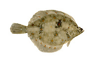 Plaice Pleuronectes platessa Length to 50cm<br /> A typical flatfish. Adult lives with right side, and eyes, facing uppermost. Outline is oval-rhomboid with a pointed head and slender tail. Marbled patterning on upper surface is a good match for sand; note the dark-centred red spots. Widespread and locally common.