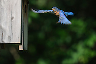 Male eastern bluebird flying back to the nest box to check on chicks in upstate, NY.