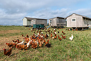 """Free Range Chicken, 8 Hands Farm, Cutchogue, NY, """"is a 28 acre, sustainable family farm on the North Fork of Long Island raising Icelandic Sheep."""""""