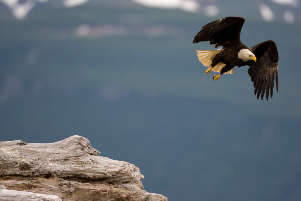 USA, Alaska, Katmai National Park, Bald Eagle (Haliaeetus leucocephalus) taking flight from log along Hallo Bay