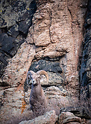 A Rocky Mountain bighorn ram stands on a precarious perch along the Bighorn Sheep Canyon. Presented at Art for the Sangres, double matted in a 16x20 wood frame: $300.