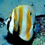 Orange Banded Coralfish inhabit reefs. Picture taken PNG.