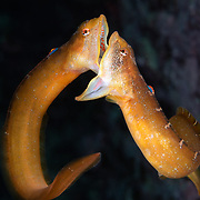 This is two male Zoarchias major eelpouts engaging in mouth-to-mouth battle in mid-water. When these fish fight, they usually do not leave the substrate. There are bigger fish around that will happily eat them. These two individuals were evenly matched, which made for a protracted, intense battle.
