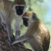 Vervet Monkey(Cercopihecus aethiops) Pair sitting in tree.Kenya, Africa.