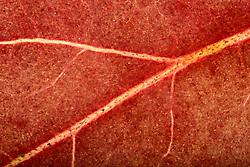 THEMENBILD - Blattfarben des Herbstes, Macroaufnahme, im Bild Assimilation im Herbst, Blattgrün (Chlorophyll) wird nicht mehr verdeckt durch die roten Anthocyane, Blattstruktur der Stechpalme (Ilex aquifolium) im Durchlicht, Herbstf√§rbung, Detail, extreme Nahaufnahme, Blattadern, Sprossachse. Bild aufgenommen am 08.10.2013. EXPA Pictures © 2013, PhotoCredit: EXPA/ Eibner-Pressefoto/ Weber<br /> <br /> *****ATTENTION - OUT of GER*****