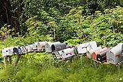 Rural mailboxes line a street corner in remote Fritz Creek, Alaska.