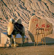 Camel tethered to stool, Flaming Mountains, Silk Route, Turpan, Xinjiang Province, China.