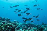 Sleek Unicornfish (Naso hexacanthus)<br /> Cenderawasih Bay<br /> West Papua<br /> Indonesia