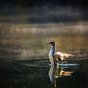 A common merganser flaps its wings in the warm lit waters of Oxbow Bend in Wyoming.