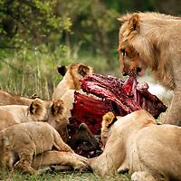 Africa, Kenya, Maasai Mara. A pride of lions devouring a wildabeest.