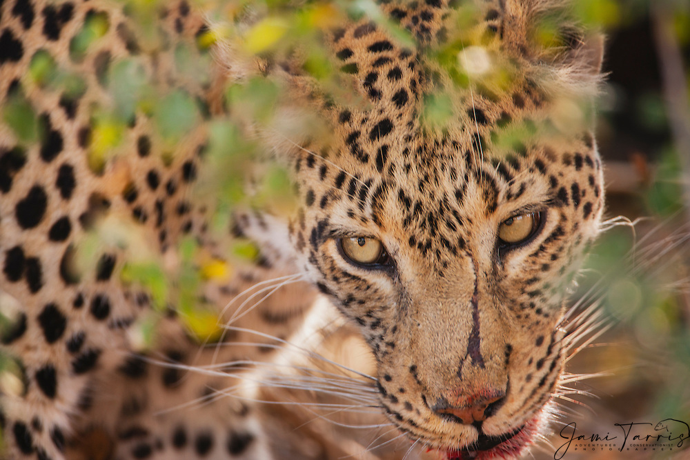 An alert and anxious leopard (Panthera pardus) watching for other predators after dragging a fresh kill to safety in heat of the day, Moremi Game Reserve, Botswana, Africa