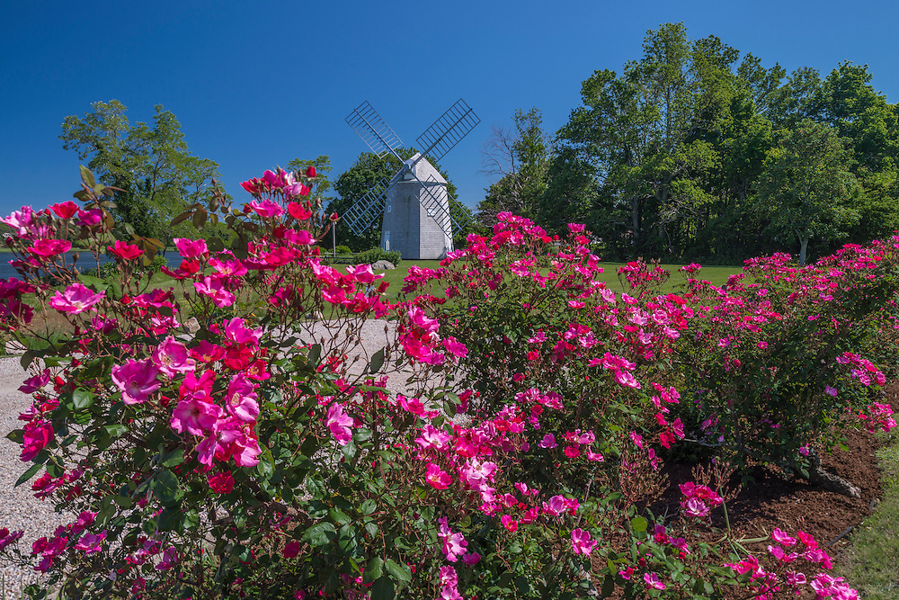 Jonathan Young Windmill built early 1700's, with proliferation of pink roses in bloom, Orleans, MA
