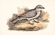 The large cuckooshrike (Coracina macei here as Coracina novaehollandiae) is a species of cuckooshrike found in the Indian Subcontinent 18th century watercolor painting by Elizabeth Gwillim. Lady Elizabeth Symonds Gwillim (21 April 1763 – 21 December 1807) was an artist married to Sir Henry Gwillim, Puisne Judge at the Madras high court until 1808. Lady Gwillim painted a series of about 200 watercolours of Indian birds. Produced about 20 years before John James Audubon, her work has been acclaimed for its accuracy and natural postures as they were drawn from observations of the birds in life. She also painted fishes and flowers. McGill University Library and Archives