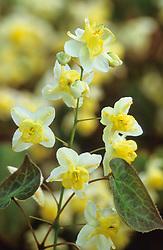 Epimedium × versicolor 'Sulphureum'  AGM