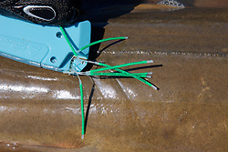 Attaching Tag to Shovelnose Guitarfish