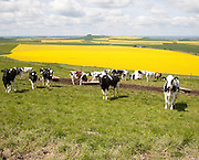 Young cattle standing high on chalk downland with oil seed rape crop in background, Tan Hill, All Cannings Down, Wiltshire
