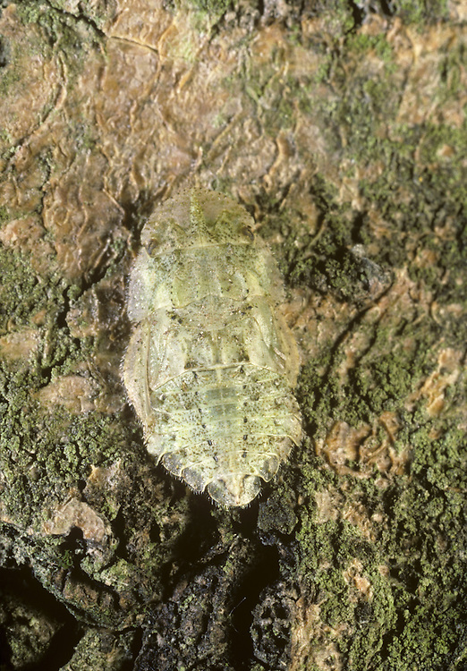 Leafhopper - Ledra aurita - Larvae