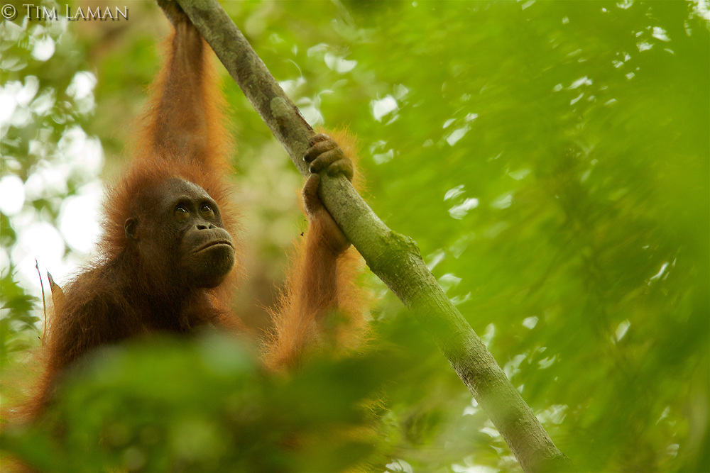 "Bornean Orangutan - ""wurmbii"" subspecies<br />(Pongo pygmaeus wurmbii)<br /><br />Cabang Panti Research Station<br />Gunung Palung National Park<br />West Kalimantan, Indonesia<br />Borneo Island<br /><br /><br />Young female = Walimah"