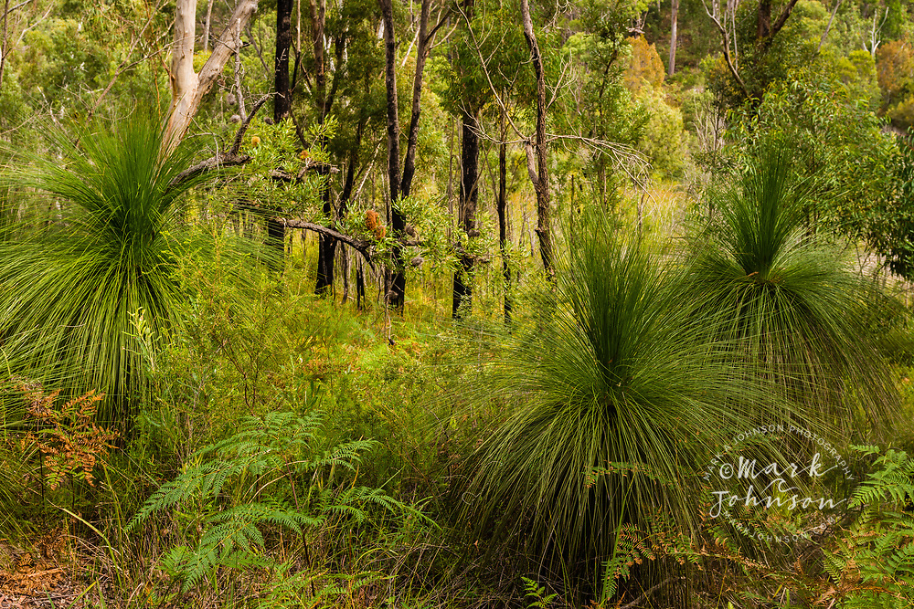 Grass trees in forest, Blue Lake National Park, North Stradbroke Island, Queensland, Australia