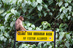A short tailed macaque sits on the placard near the Gomantong caves, on August 5, 2019 near Sandakan city, State of Sabah, North of Borneo Island, Malaysia. Palm oil plantations are cutting down primary and secondary forests vital as habitat for wildlife including the critically short tailed macaques. Photo by Emy/ABACAPRESS.COM