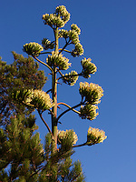 Yucca in Bloom. San Mateo CA. Image taken with a Leica V-Lux 5 camera (ISO 80, 19.2 mm, f/8, 1/1250 sec).
