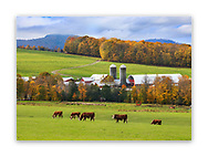 Grazing Cattle on a Vermont Farm, USA