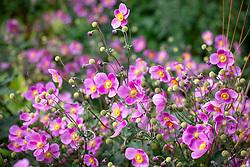 Anemone hupehensis 'Bowles's Pink' - Japanese anemone
