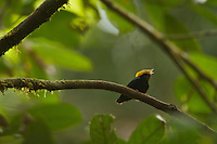 Golden-headed Manakin (Pipra erythrocephala).male at display perch in the mid canopy....Tiputini Biodiversity Station, Amazon Rain Forest, Ecuador.