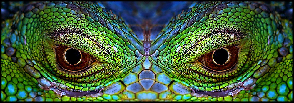 The abstract beauty of the scale pattern and color of the eye of the Green Iguana intensifies as the image is mirrored upon itself.