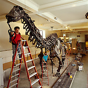 The Brontosaurus at the American Museum of Natural is cleaned.