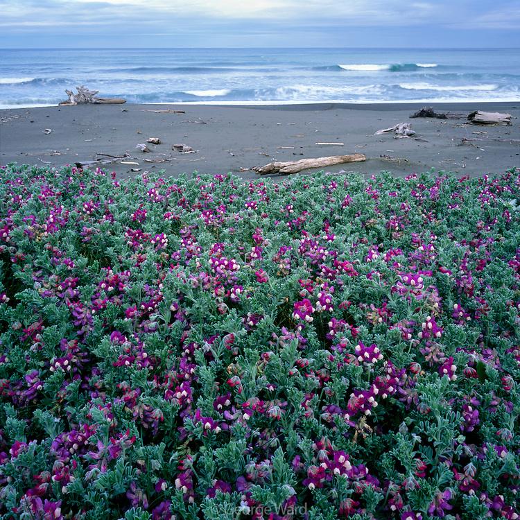 Pacific Pea and the Lost Coast, near Punta Gorda, King Range National Conservation Area, California