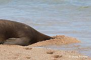 Hawaiian monk seals, Monachus schauinslandi, Critically Endangered endemic species, female resting with head buried in sand, Larsen's Beach, Moloa'a, Kauai, Hawaii ( Central Pacific Ocean )