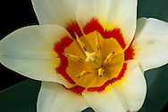 Red and Yellow Tulip Close-Up