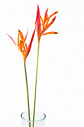 Heliconia, Golden Torch#4