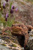 Common Toad (Bufo bufo).Sierra de Andújar Natural Park, Mediterranean woodland of Sierra Morena, north east Jaén Province, Andalusia. SPAIN.RANGE: Most of Europe except Ireland, Corsica, Sardinia, the Balearics, Malta and Crete. Also found in NW Africa and across Palaerctic Asia to Japan..Mission: Iberian Lynx, May 2009