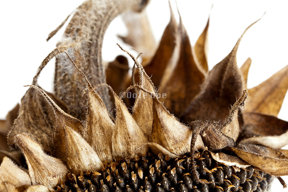 extreme close up of a ripe sunflower head with seeds