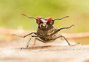 Male stag beetle (Lucanus cervus). Surrey, UK.