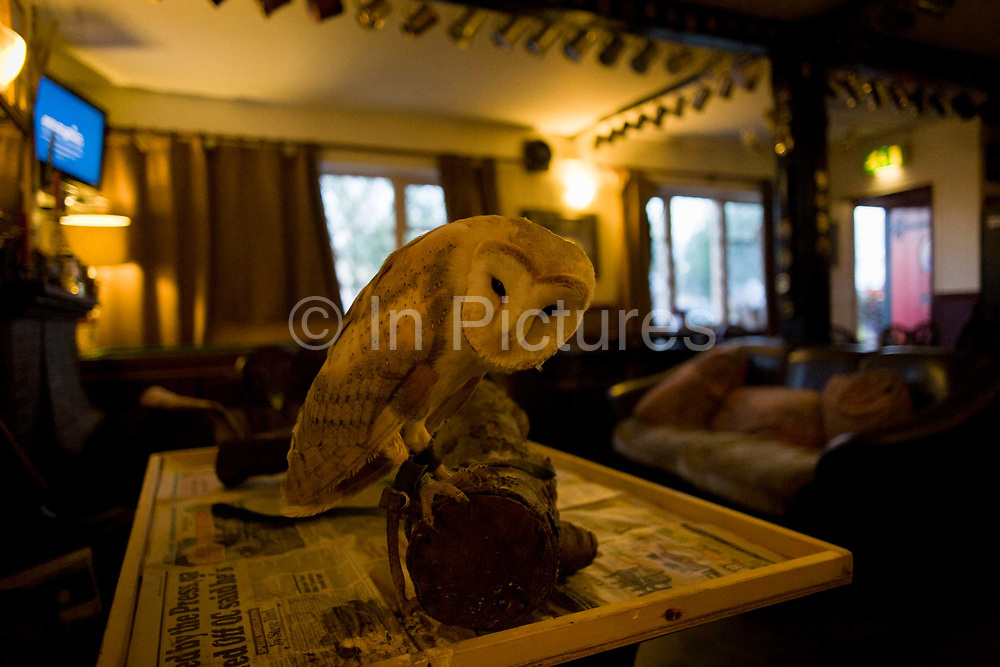 A tame Barn Owl rests on its perch at the quiet Lord Nelson pub in Reedham on the Norfolk Broads. Rescued from a former owner and now taking up residence in this country inn, the bird (whose species is tyto alba) peers suspiciously at anyone who cares to bring a drink nearby although a stroke along its fine feathers is not recommended.