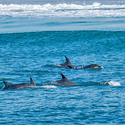 Golfinho (Delphinidae) fotografado na África do Sul. Registro feito em 2019.<br /> ⠀<br /> ⠀<br /> <br /> <br /> <br /> <br /> ENGLISH: Dolphin photographed in South Africa. Picture made in 2019.