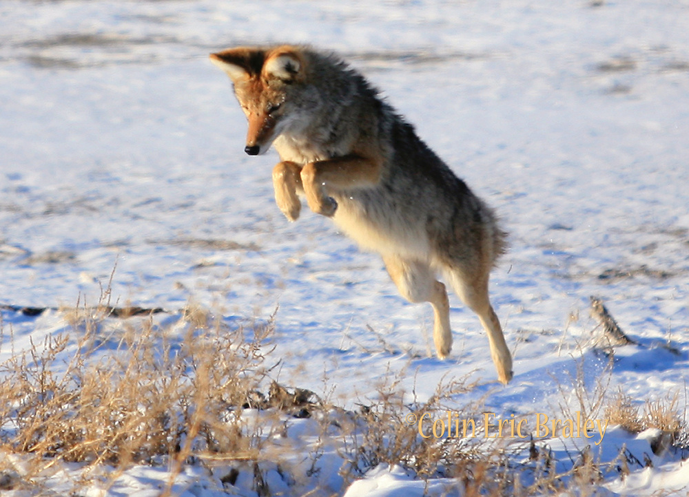 A coyote pounces on a field mouse for a winter snack Jaunary 14, 2007. along the Antelope Island State Park Causeway. The winter months brings these canines off the confines of the island as they search for food. Colin Braley/Stock